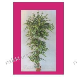 sztuczne drzewko FIKUS green-yellow 220cm roslina