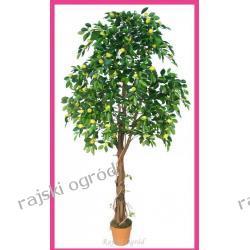CYTRYNA drzewo cytrynowe 200 zobacz inne owocowe