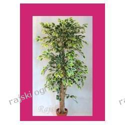 HIT! FIKUS GREEN-YELLOW ~170cm sztuczne drzewko