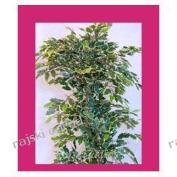HIT! FIKUS GREEN-WHITE ~170cm sztuczne drzewko