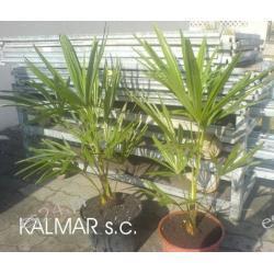 "Trachycarpus ""Naini Tal"""
