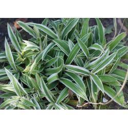 Carex ciliatomarginata 'Treasure Island'  - sadzonki