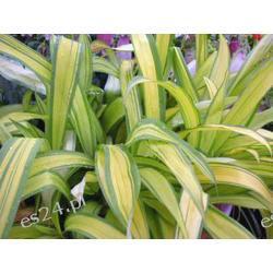 Carex siderosticha 'Banana Boat' - sadzonki