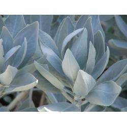 Biała szałwia - 100 g - najsilniejsza z roslin ochronnych i oczyszczajacych