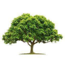 Posadź drzewo w Magicznej Oazie wielkosci ok. 50 cm