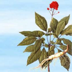 Korzeń Żeń-szenia - 25 g - jedna z najsilniejszych roślin magicznych, która w zależności od woli maga ...