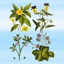 Damiana (Turnera diffusa) 25 g - stosowana przez Majów by poprawić nastój w rytuałach uzdrawiających