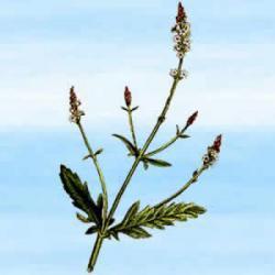 Werbena pospolita (Verbena officinalis) - 25 g - magiczna roślina Bogini Miłości Wenus