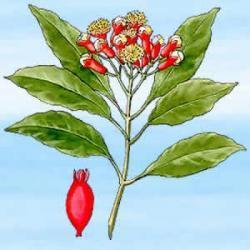 Czapetka Syzygium 25 g - usuwa złe duchy. Działa także odstraszająco na insekty. Afrodyzjak i środek przyciągający bogactwo.