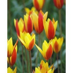 Tulipan botaniczny Chrysantha 10 szt. hit