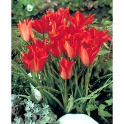 Tulipan botaniczny Linifolia 10 szt. hit