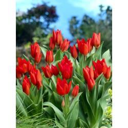 Tulipan botaniczny Praestans 10 szt. hit