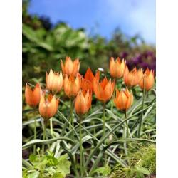 Tulipan botaniczny Piccolo 10 szt. hit