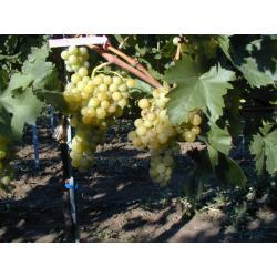 Sadzonka winorośli - MW09