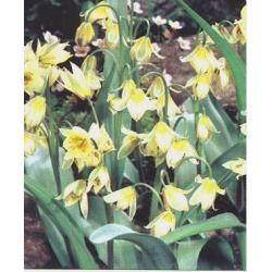 Tulipan botaniczny Turkestanica 10 szt. hit
