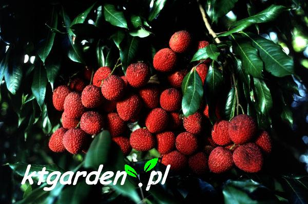 http://img.bazarek.pl/179810/12992/shopfiles/liczi2.jpg
