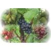 Alden sadzonka winorośli
