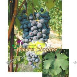 Dolcetto sadzonki winorośli 100