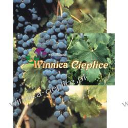 Negretto sadzonki winorośli Rośliny owocowe