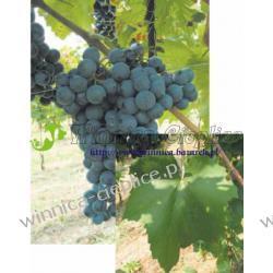 Cabernet Franc sadzonka winorośli 100 Rośliny owocowe