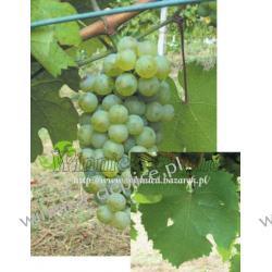 Sadznka winorośli Riesling Reński