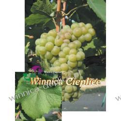 Pinot Blanc sadzonka winorośli