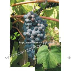 Pinot Noir winorośl A12-2/5BB