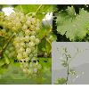 Sadzonka winorośli Sauvignon Nepis®