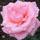 Title Róża