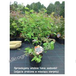 BORÓWKA AMERYKAŃSKA TORO - JAGODA Rośliny owocowe