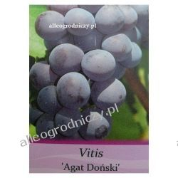 Winorośl AGAT DOŃSKI sadzonki winogrono FIOLETOWE
