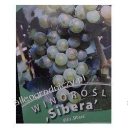 Winorośl SIBERA wiogrono sadzonki ZÓŁTE-ZIELONE Rośliny owocowe