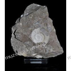 Amonit - SKAM05 - piękna, naturalna skamieniałość