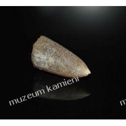 Belemnit SKAM09 - 80 mln lat - Polska skamieniałość
