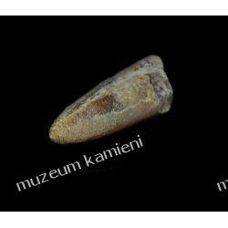 Belemnit SKAM01 - 80 mln lat - skamieniałość