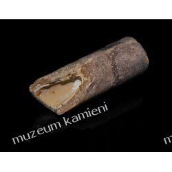 Belemnit SKAM04 - 80 mln lat - skamieniałość