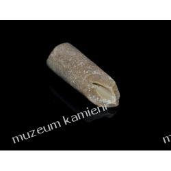 Belemnit SKAM29 - 80 mln lat - skamieniałość