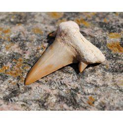 Super skamieniałość! Ząb rekina: 65 mln lat - SKAM23