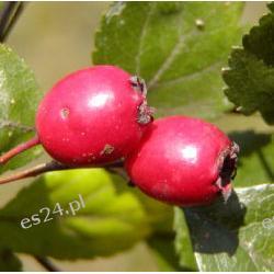 Owoce głogu-zdrowe serce!,nalewki,wina-1 kg