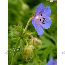 Bodziszek Geranium pratense-10 roślin za9.99 zł