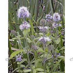 Mięta nadwodna 20 roślin za 6,99zł Akcesoria
