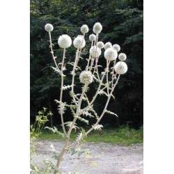Przegorzan 20 roślin za 9,99 zł Akcesoria