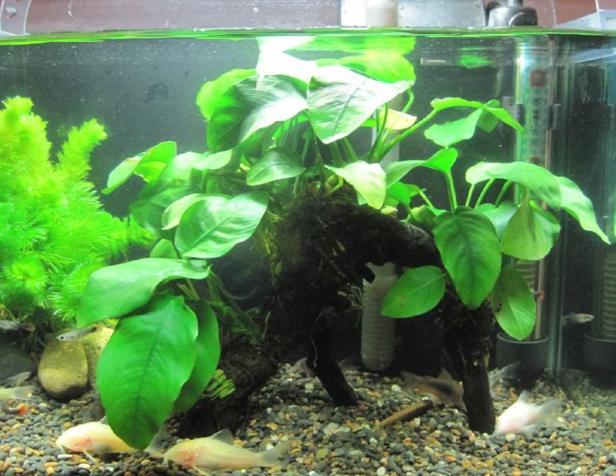 Как правильно сажать анубиас в аквариуме 77