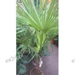 Palma Mrozoodporna – (Trachycarpus Fortunei)