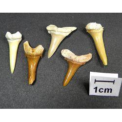 ZĘBY REKINA skamieniałe, (2,5 cm) 1szt. Skamieliny, minerały i muszle