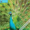 Kalendarz Pawie Peacocks Wall Calendar 2018