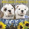 Kalendarz Bulldog Puppies 2018 Bulldogi Szczenięta Calendar
