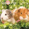 Guinea Pigs 2019 Square Wall Calendar
