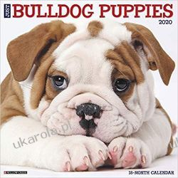 Just Bulldog Puppies 2020 Wall Calendar szczeniaki buldogi