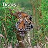 Tigers 2020 Square Wall Calendar tygrysy